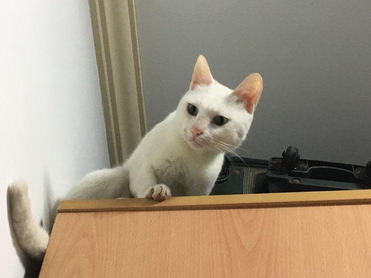 可爱白猫求领养