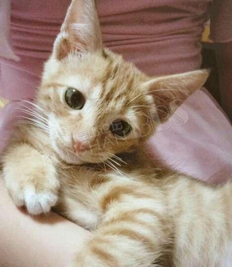家里有只小橘猫 姓别:男生 年龄:两个半月 非常健康活泼可爱,由于