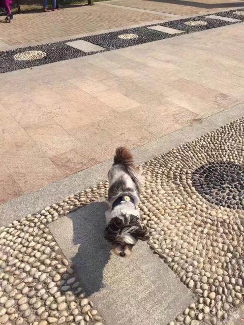 罗秦犬8.24日上午10点在大德世家小区走失!