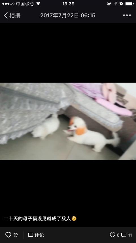 橙色耳朵和尾巴的白色狗
