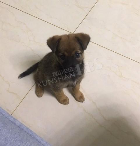 在昆山城北马路边捡到一只中华田园犬,求领养!