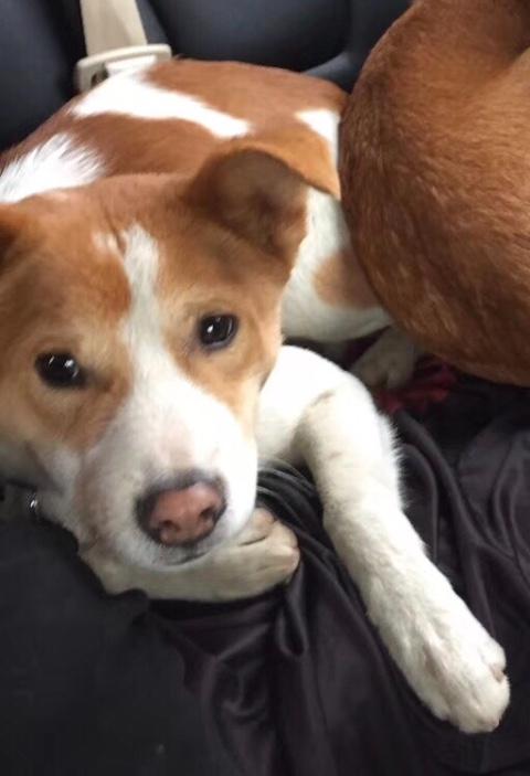 白色黄花的狗狗,八个多月,叫花花,脖子上蓝色项圈,有公安局发的狗牌