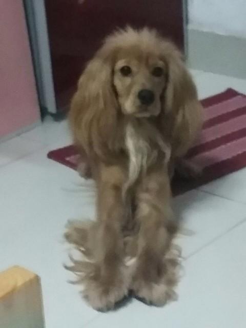 可卡犬,棕色毛,长耳朵