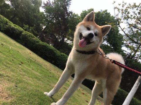 秋田犬丢失