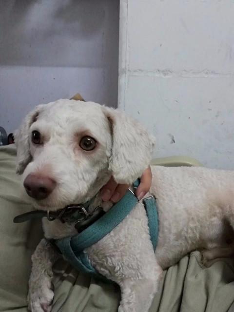 寻狗米色泰迪,叫小米。身上有蓝色牵引绳和脖子上的狗牌有电话号码!如有看见的请告知,137763594