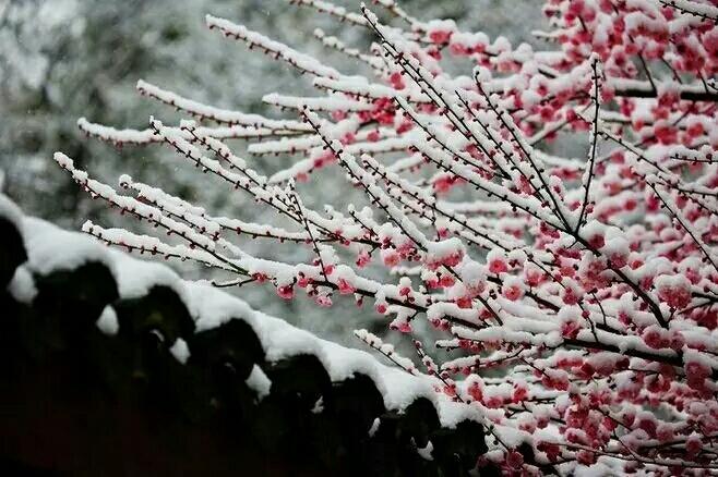 小年了腊雪冬梅迎上枝头