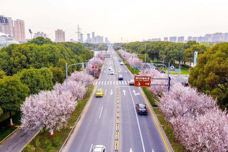 马鞍山路的樱花
