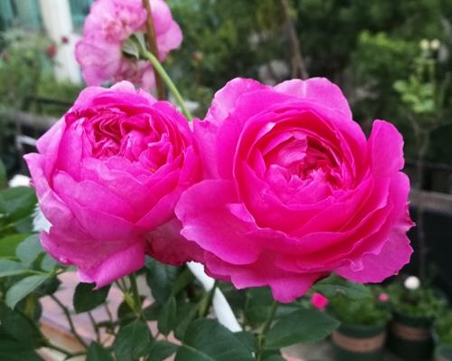 夏日的几朵玫瑰