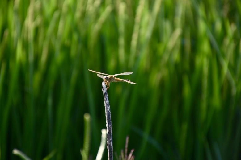 小憩---蜻蜓