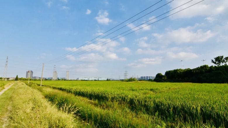 南方水稻即将迎来大丰收