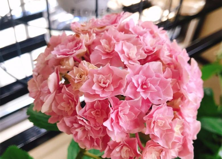 繡球花真美