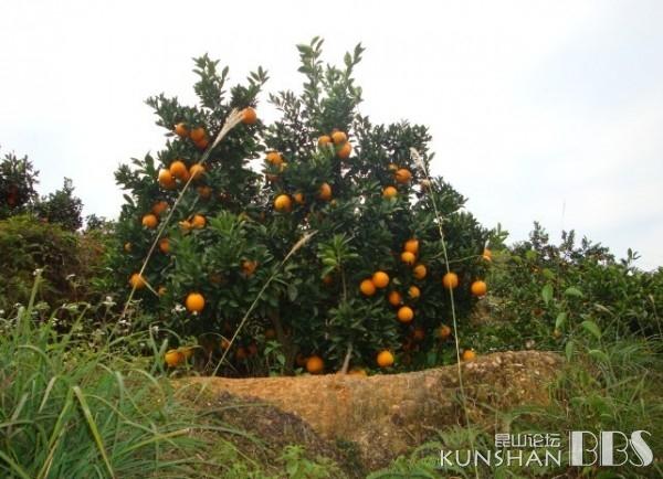 大家知道橙子树长什么样吗? 家有儿女