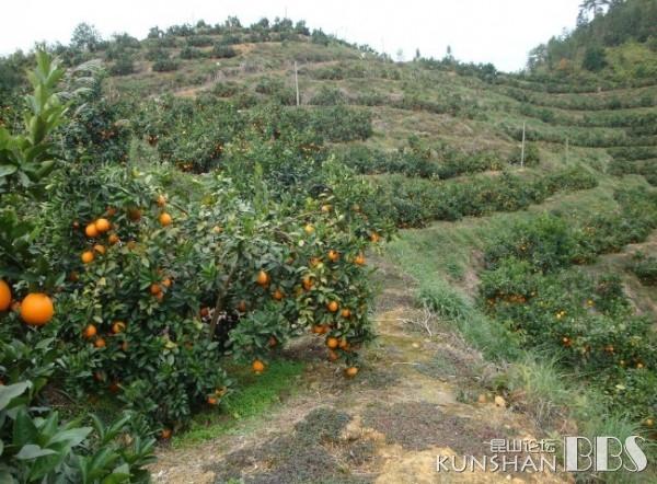 大家知道橙子树长什么样吗?|家有儿女