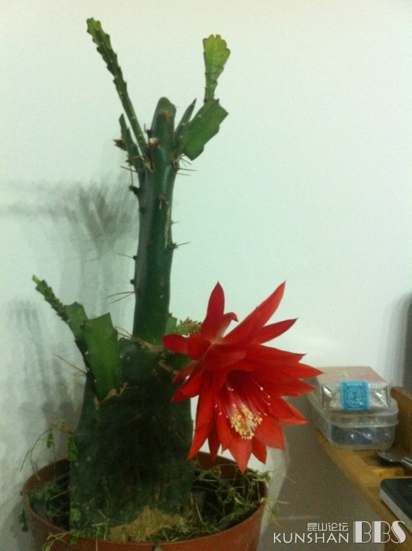家里仙人掌嫁接的令箭荷花开了,好大的花啊