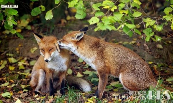 """前段时间,陪着孩子看了""""动物世界""""栏目,那一期主题就是介绍""""狐狸"""