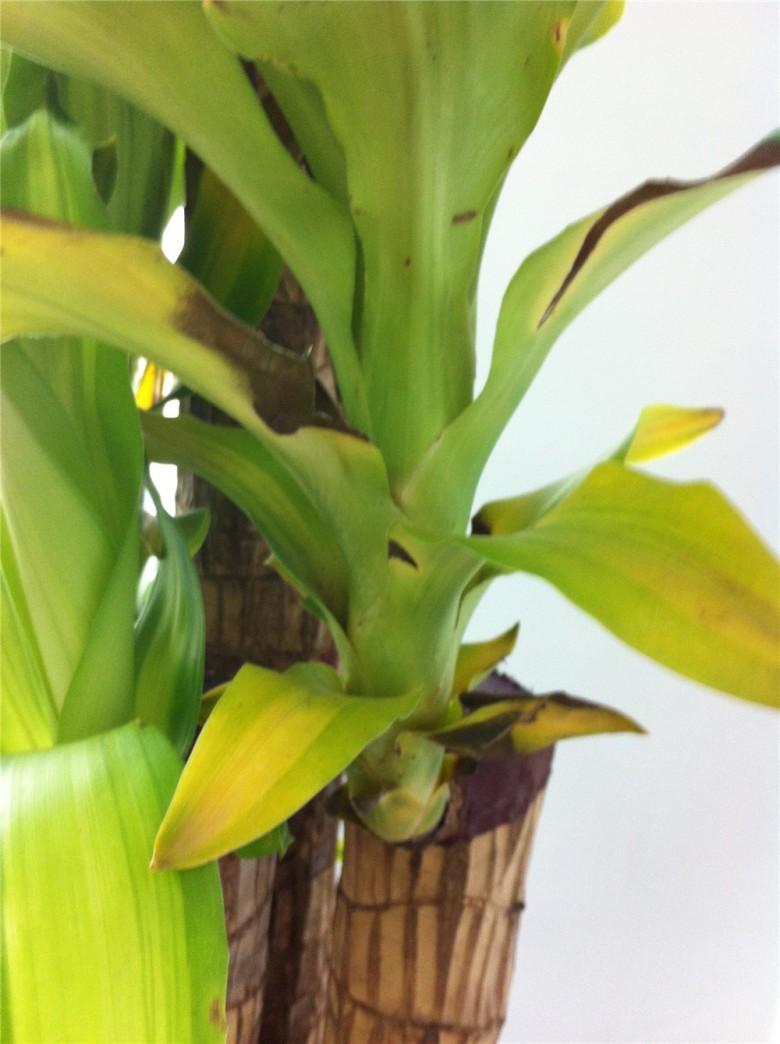 求救啊!办公室养的巴西铁树叶子发黄发黑