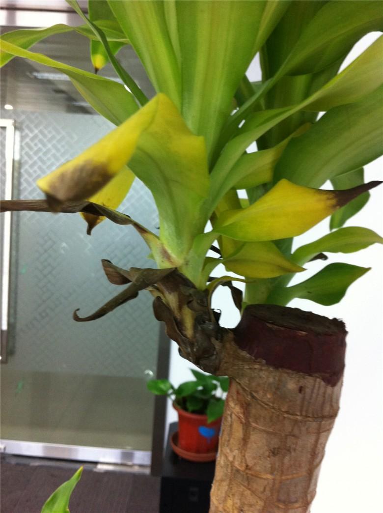 办公室养的巴西铁树叶子发黄发黑|花花草草
