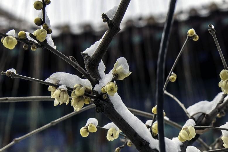 雪中腊梅花|数码摄影